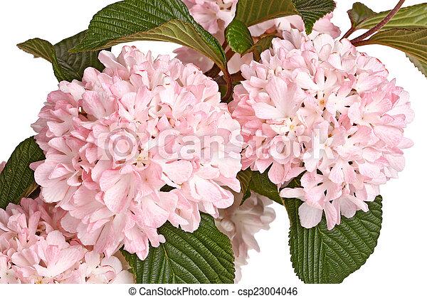 Flowering branch of snowball viburnum viburnum plicatum stock flowering branch of snowball viburnum viburnum plicatum isolat csp23004046 mightylinksfo