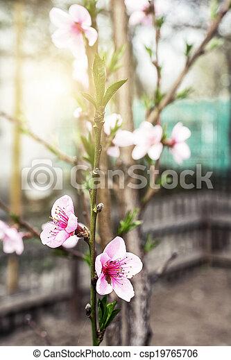 flowering branch peach against the - csp19765706