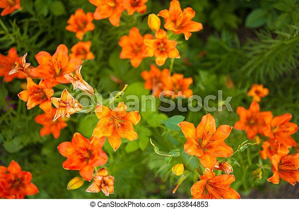 flowering bush tiger lily in the garden - csp33844853