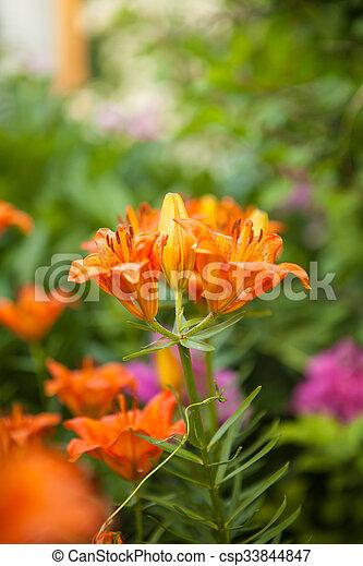 flowering bush tiger lily in the garden - csp33844847