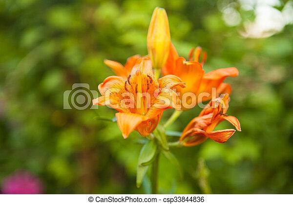 flowering bush tiger lily in the garden - csp33844836
