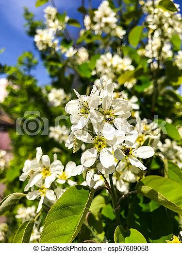 Flowering Bush With White Flowers Studio Photo