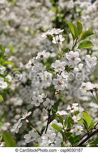 flowering cherry - csp9030187