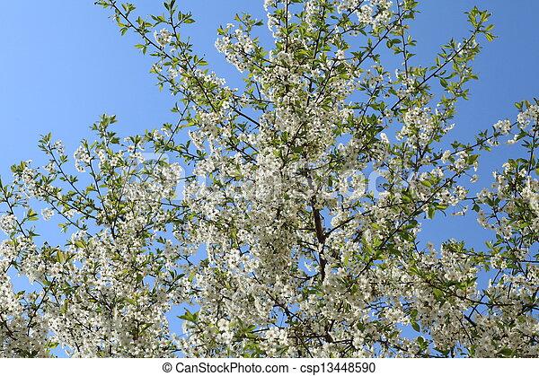 flowering cherry - csp13448590