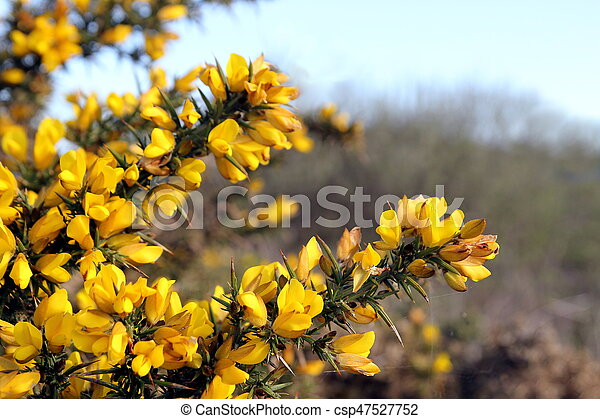 Flowering common gorse ulex europaeus a spiky thorn covered flowering common gorse ulex europaeus a spiky thorn covered plant with bright yellow mightylinksfo
