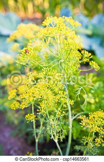 flowering dill in the garden - csp14663561
