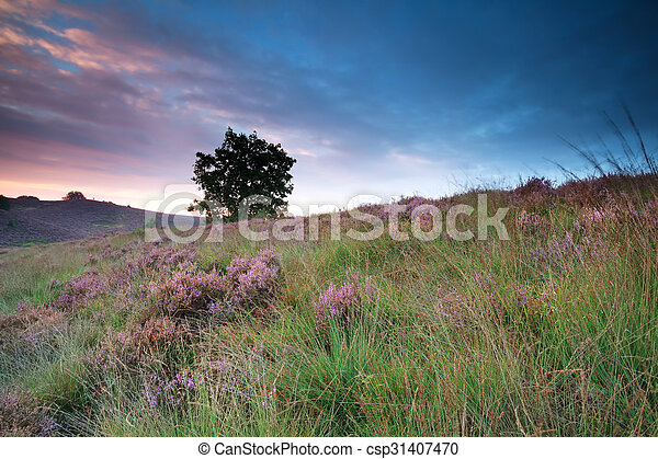 flowering heather on hill at sunrise - csp31407470