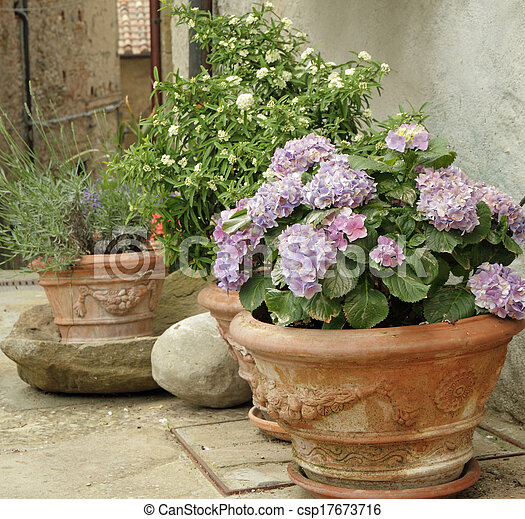flowering hortensia and other plants  in terracotta  vases on tuscan courtyard - csp17673716