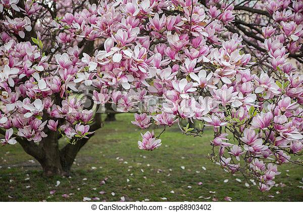 Flowering Magnolia Tulip Tree Pink Magnolias In Spring Day