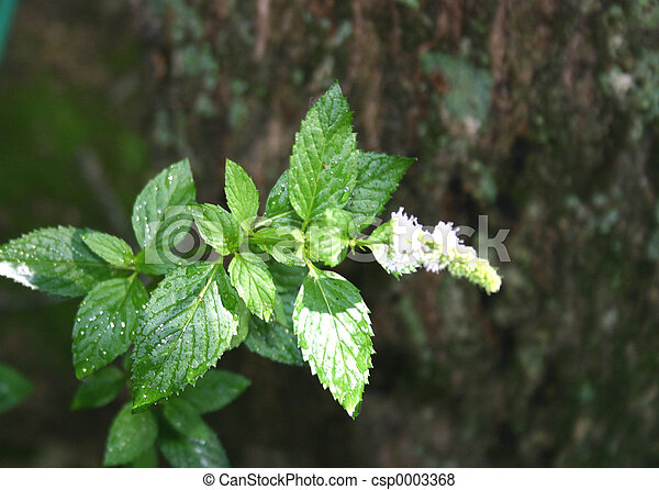 Flowering mint - csp0003368