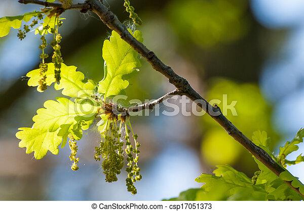 Flowering oak in spring - csp17051373