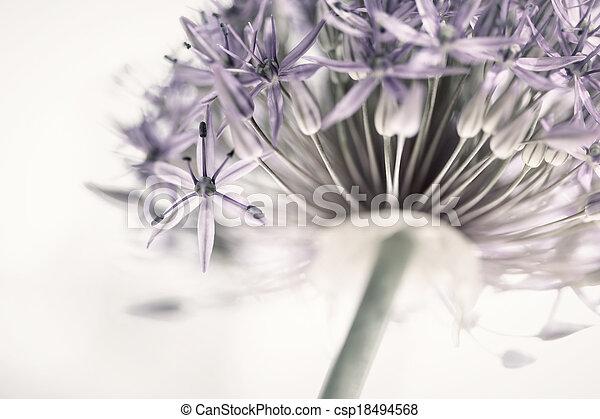 Flowering onion flower - csp18494568