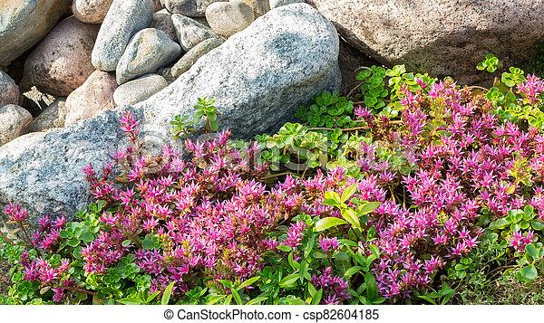 Flowering plants in a small rockery in the summer garden. Blooming pink stonecrop, sedum, close up - csp82604185