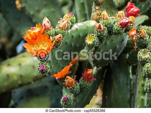 Flowering Prickly Pear Cactus - csp55526366