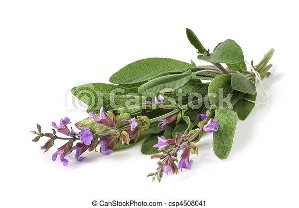 Flowering Sage - csp4508041