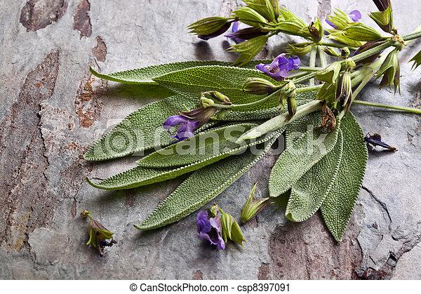 Flowering Sage - csp8397091