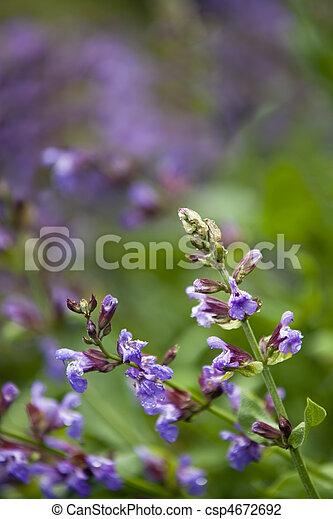 Flowering Sage - csp4672692