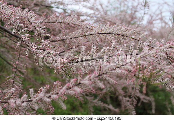 Flowering shrub with small pink flowers stock photographs search flowering shrub with small pink flowers csp24458195 mightylinksfo