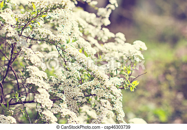 Flowering shrub with small white flowers. Spring flowering. - csp46303739