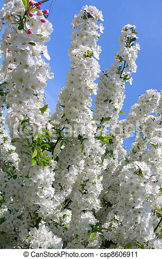 Flowering Trees In Spring Blossoms On White Flowering Trees In