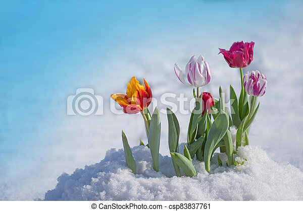 Flowering tulips under the snow - csp83837761