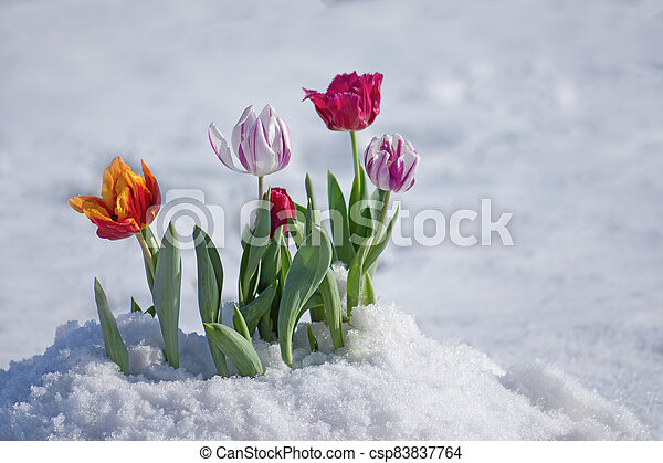 Flowering tulips under the snow - csp83837764