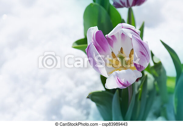 Flowering tulips under the snow - csp83989443