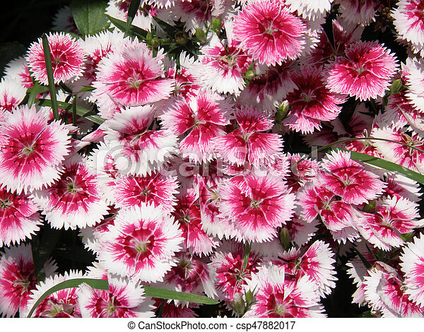 Flowering white and pink sweet william flowers in bloom blooming flowering white and pink sweet william flowers in bloom csp47882017 mightylinksfo