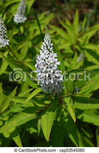 Flowering white veronica plant white veronica plant in bloom flowering white veronica plant csp53545080 mightylinksfo