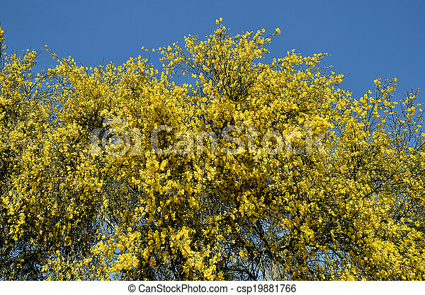 Flowering Yellow Broom On Blue Sky Background