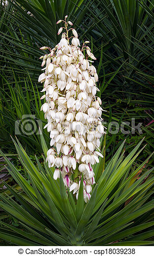 Flowering yucca plant a beautiful yucca plant displays many white flowering yucca plant csp18039238 mightylinksfo