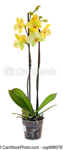flowerpot., blanc, isolé, jaune, orchidée - csp9980767