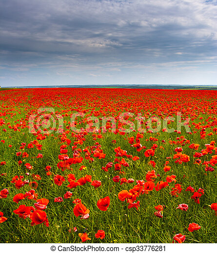Flowers - a field of red poppies - csp33776281