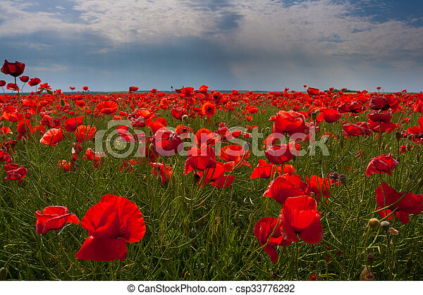 Flowers - a field of red poppies - csp33776292