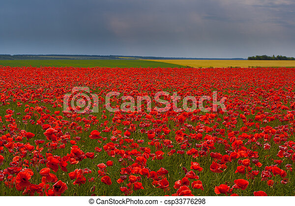 Flowers - a field of red poppies - csp33776298