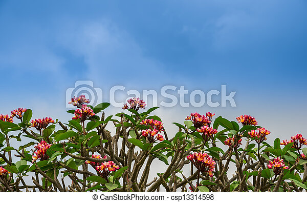 flowers Adenium line on the sky, background - csp13314598