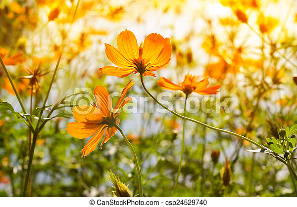 Flowers at sunrise in the park - csp24529740