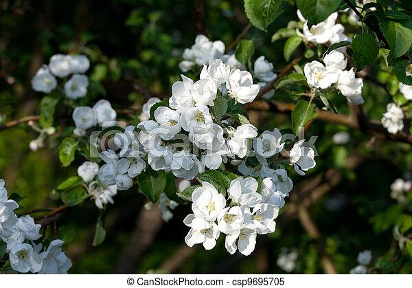 Flowers Blooming Apple Tree - csp9695705