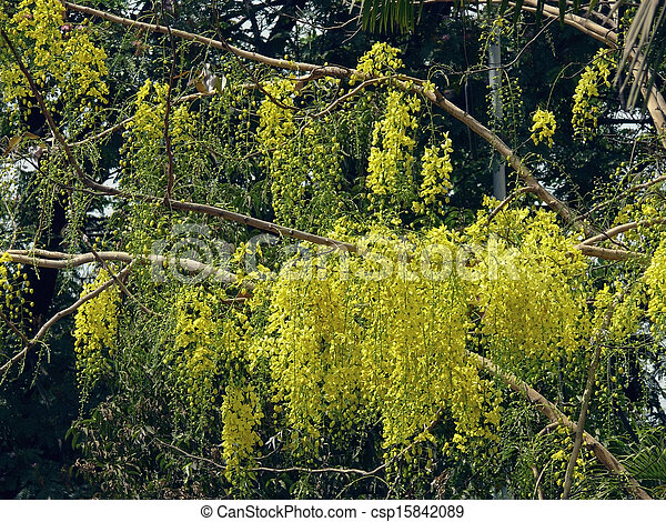 Flowers cassia fistula indian laburnum family caesalpiniaceae a a mediumsized deciduous tree with yellow flowers the fruit is in the form of a long cylindrical pod it is used in local medicine mightylinksfo
