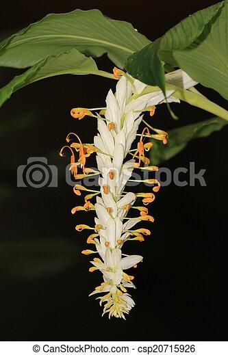 Flowers globba winitii white drag globba winitii white dragon globba winitii white dragon commonly called white dancing lady ginger is a tropical rhizomatous plant and belongs to the ginger family zingiberaceae mightylinksfo