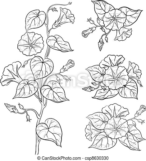 Flowers ipomoea with leaves, contours - csp8630330
