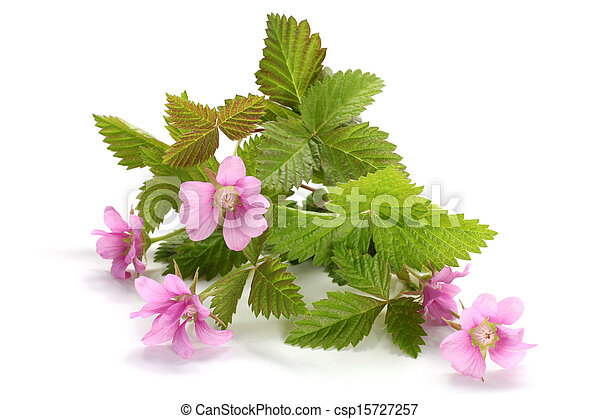 Flowers of a Rubus arcticus with leaves - csp15727257