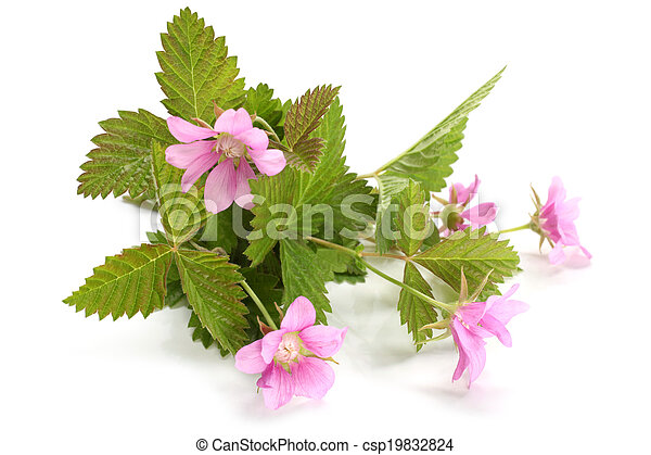 Flowers of a Rubus arcticus with leaves - csp19832824