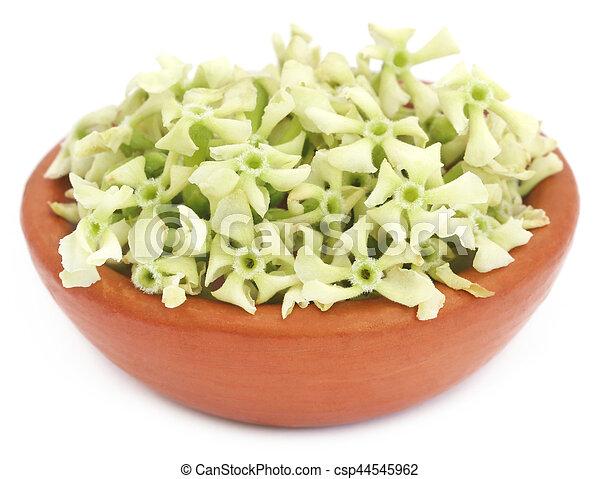 Flowers of Alstonia scholaris - csp44545962