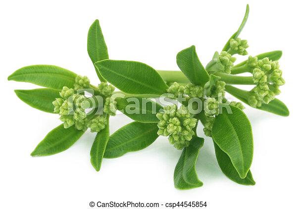 Flowers of Alstonia scholaris - csp44545854