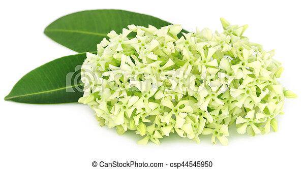 Flowers of Alstonia scholaris - csp44545950