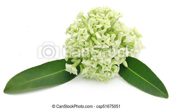 Flowers of Alstonia scholaris - csp51675051