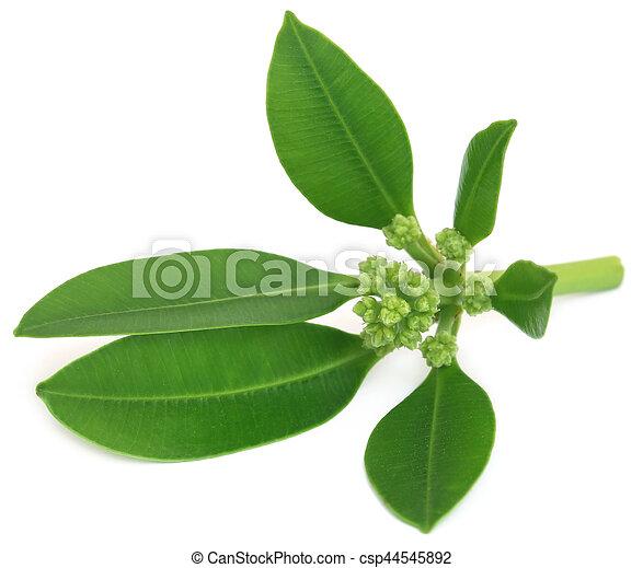 Flowers of Alstonia scholaris - csp44545892