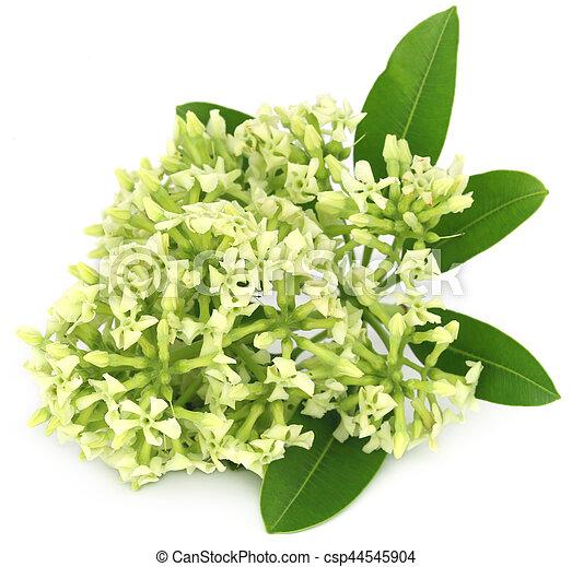 Flowers of Alstonia scholaris - csp44545904