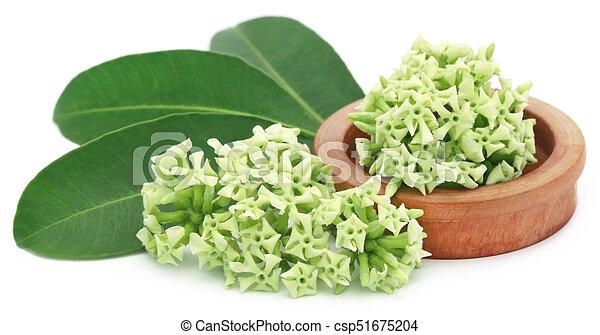 Flowers of Alstonia scholaris - csp51675204